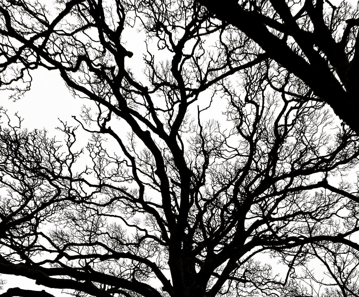 The Darnley Sycamore